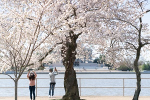 tidal basin, cherry blossoms, street photography, flowers, spring, blossoms, bloom, washington dc, national mall
