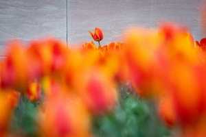 tulips, national gallery of art, tulips, spring, exterior, red flowers,