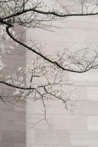 washington dc, national mall, cherry blossoms, national gallery of art, art muesum, nga, architecture,
