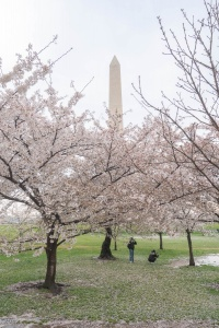 washington dc, washington monument, puddle, national mall, cherry blossoms, spring, sakura,