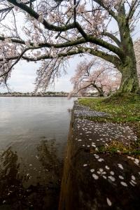 tidal basin, washington dc, cherry blossoms, cherry trees, branches, flowers, petals,