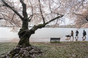 tidal basin, washington dc, cherry blossoms, cherry trees, branches, flowers, petals, benches, street photography,