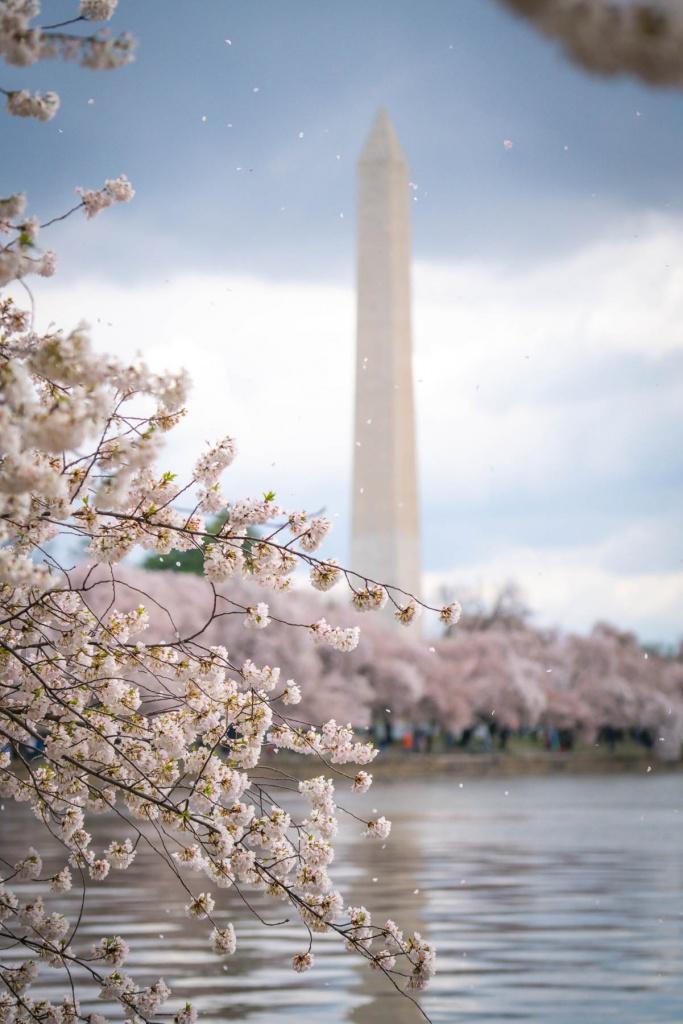 tidal basin, washington dc, national mall, cherry blossoms, petals, flowers, spring, northwest dc, washington monument,