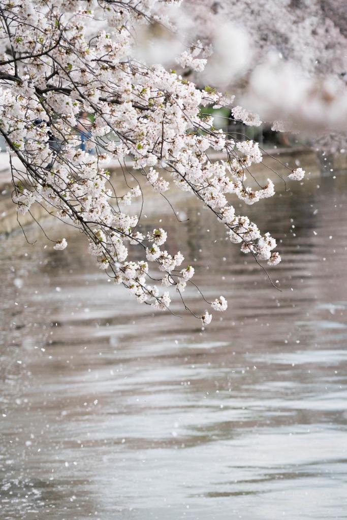 tidal basin, washington dc, national mall, cherry blossoms, petals, flowers, spring, northwest dc,