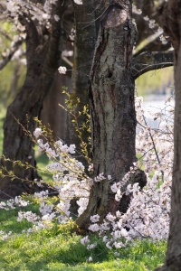 east potomac park, hains point, washington dc, cherry blossoms, flowers,