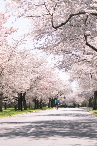 east potomac park, hains point, washington dc, cherry blossoms, flowers,