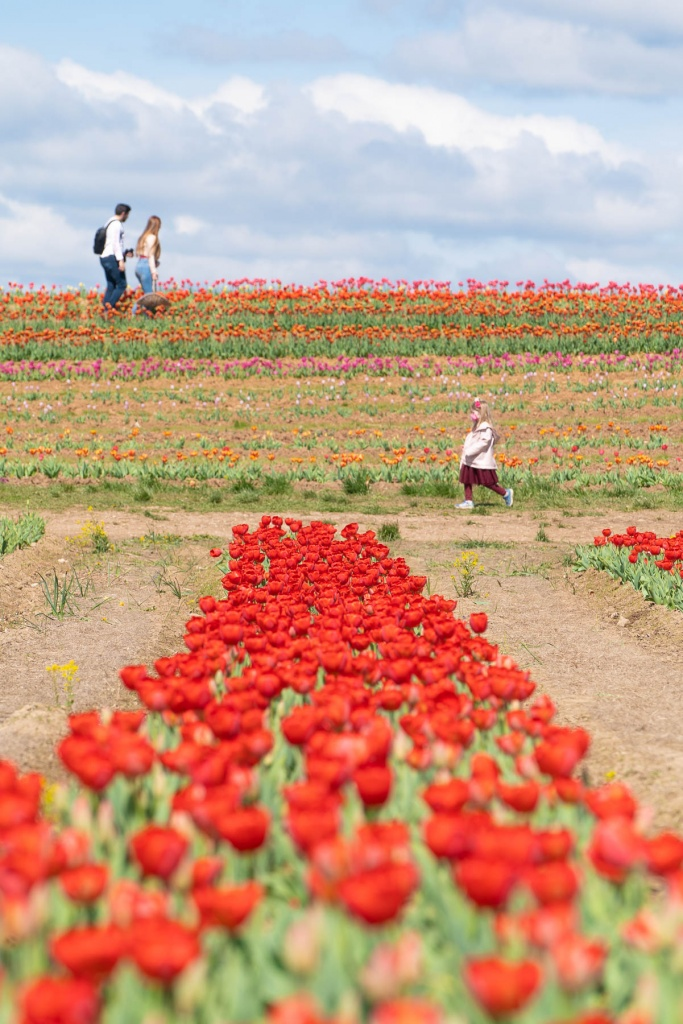 burnside farms, nokesville, virginia, va, tulip farm, tulip field, tulips, spring, flowers,