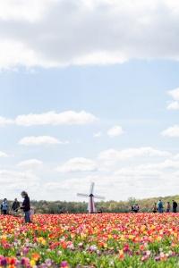 burnside farms, nokesville, virginia, va, tulip farm, tulip field, tulips, spring, flowers, windmill